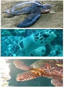 sos turtles